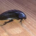 Giant Black Water Beetle