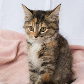 Kitten by Eva Ryan - Animals - Cats Portraits ( feline, kitten, cat, posing, soft,  )