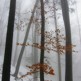 forest in the fog by Lidija P - Landscapes Forests
