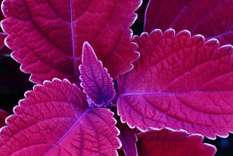 foglie di SALVATORE PETRENGA