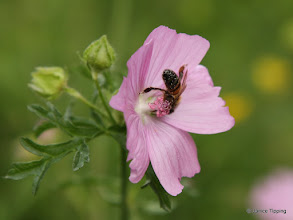 Photo: Bee covered in pollen from a musk mallow flower