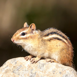 Chippy on a rock by Debbie Quick - Animals Other Mammals ( debbie quick, nature, adirondacks, debs creative images, new york, outdoors, mammal, ticonderoga, rodent, chipmunk, animal, wild, wildlife )