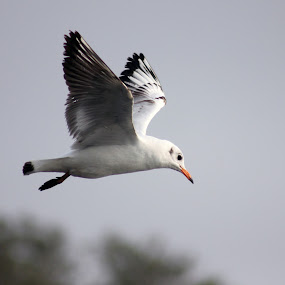 Seagull by Yash Savla - Animals Birds