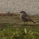 Common redstart (female)