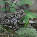 American Toad