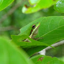 Northern Dwarf Tree-frog