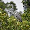 Grey Heron ( फुस्रो बकुल्ला )