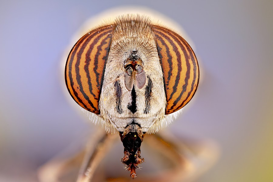 Eyes Syrphidae by Sergio Frada - Animals Insects & Spiders ( macro, colors, insect )