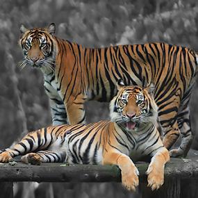 Double Team by Yohanes Arief Dewanto - Digital Art Animals ( wild, wilderness, tiger, tigerland, sumatran tiger,  )