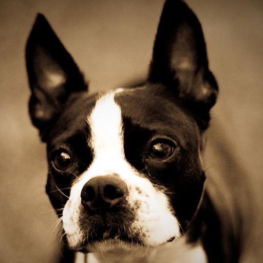 App Insights Boston Terrier Wallpapers