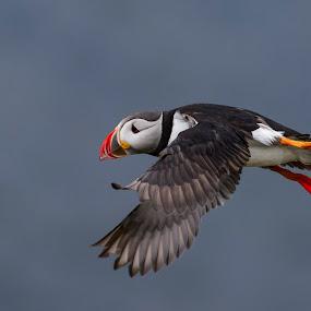 Puffin by Dennis Hallberg - Animals Birds ( puffin )
