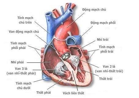 Kết quả hình ảnh cho giải phẫu tim người