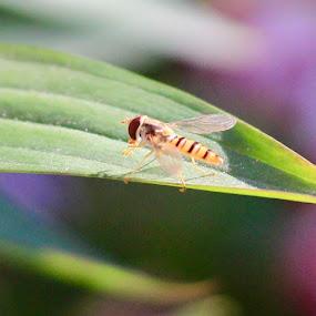 Laying on a leaf by Brian Egerton - Animals Insects & Spiders ( wasp, macro, bee, garden, garden flower, gareden wildlife )