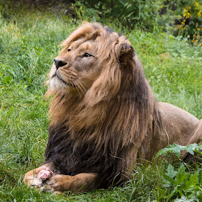 Alert male Lion by Davey T - Animals Lions, Tigers & Big Cats ( wild animal, lion, male, wildlife, eating, willd, dominant, golden )