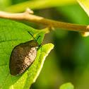 Bronze Tortoise beetle
