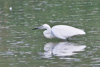 Photo: Little Egret