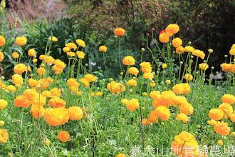 Photo: 拍攝地點: 梅峰-溫帶花卉區 拍攝植物:陸蓮 拍攝日期:2013_02_15_FY