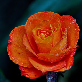 Rose by Aung Kyaw Soe - Flowers Single Flower