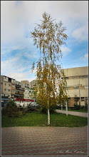 Photo: Mesteacan ( Betula) - din Parcul Teilor - 2016.11.10