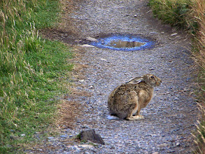 Photo: Heather and I saw this large hare on the trail to Refugio Paine Grande