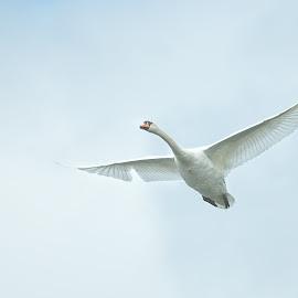 Flying swan by Peter Kostov - Animals Birds ( sky, nature, fauna, bird, swan, wildlife )