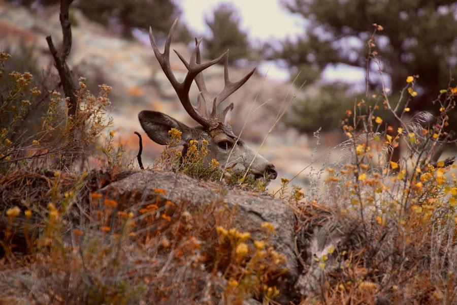 Shyness by Santford Overton - Animals Other Mammals ( animals, nature, muledeer, wildlife, trees, landscape, landscapes,  )