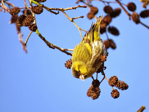 Photo: Priorslee Lake No excuse for another Siskin photo: this male allowed much closer approach this morning. (Ed Wilson)
