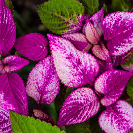 Coleus leaves by David Winchester - Nature Up Close Leaves & Grasses