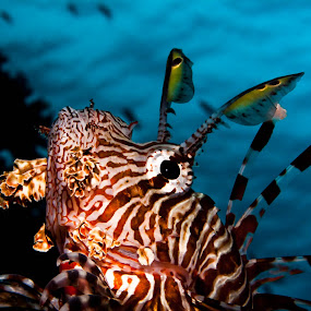 Flags by Alin Miu - Animals Fish ( underwater, poison fish, lion fish, tropical fish, reef life, closeup )
