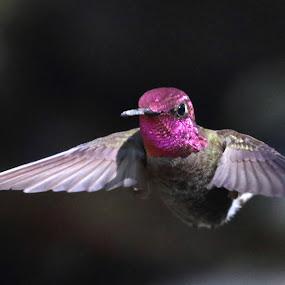 Anna's Gorget by Raphael RaCcoon - Animals Birds ( colour, bird, hummingbird, humming bird, hummer,  )