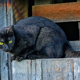 Montana, The Cat -3 by Twin Wranglers Baker - Animals - Cats Portraits ( cat, barn cat, farm cat, feline, black cat,  )