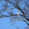 Red-tail, leucistic