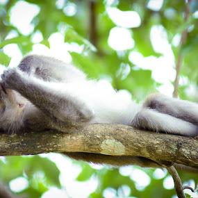 Lazying Around by Muhammad Fairuz Samsubaha - Animals Other Mammals ( mammals, tree, anat, sleepy, lay down, photography, monkey, animal )
