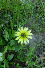 Photo: Arcotheca calendula