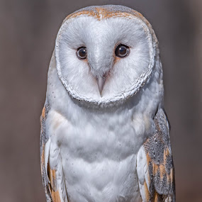 Barn Owl by Amy Ann - Animals Birds (  )