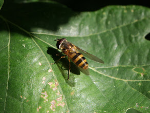 Photo: Hover Fly