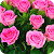 Rose Wallpapers file APK for Gaming PC/PS3/PS4 Smart TV