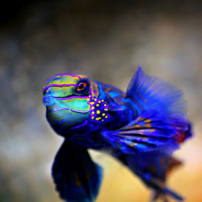 Mandarin Goby by Katie McKinney - Animals Fish ( water, animals, nature, blue, colorful, fish, aquarium, mandarin goby, ocean, salt water,  )