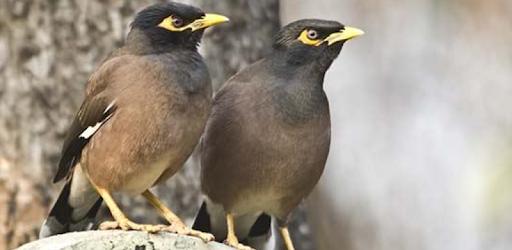 Suara Burung Jalak Nias Master Kicau Jalak Nias On Windows Pc Download Free 2 1 0 Com Kumpulansuaraburungjalaknias Masterkicaujalaknias
