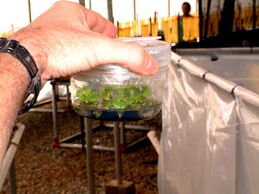 Photo: Steriles Glas mit Zellkultur-Pflanzen, bereit für das Gewächshaus. / Sterile jar with TC-plants, ready for greenhouse conditions. Foto: R. Cantley.