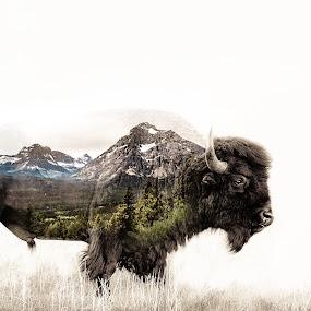 Buffalo,MT by Chris Martin - Digital Art Animals ( buffalo, double exposure, montana, digital art, ., animal )