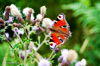 Photo: Peacock Butterfly, Ilkley Moor