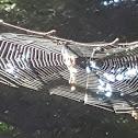 Orb Weaver Web?