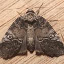Pale Baileya Moth - 8972