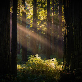 Redwood Light Beam by Zach Blackwood - Landscapes Forests ( redwoods, california, sunset, forest, sunrise, southern oregon, light, sun beam, coast )