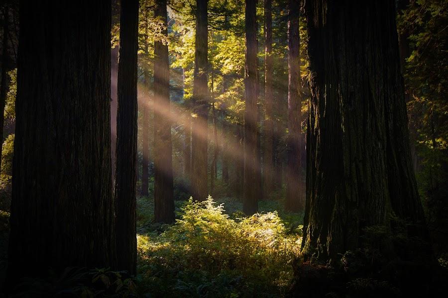 Redwood Light Beam by Zach Blackwood - Landscapes Forests ( redwoods, california, sunset, forest, sunrise, southern oregon, light, sun beam, coast )
