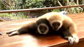 Raising Baby Gibbons thumbnail
