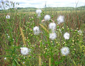 Photo: Pilewort seeds, 9.13