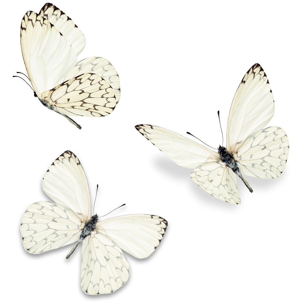 White butterflies migrating to Mozambique - SowetanLIVE