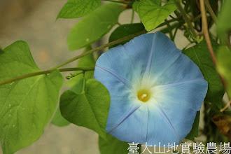 Photo: 拍攝地點: 春陽-可愛植物區 拍攝植物: 朝顏 拍攝日期:2012_07_18_FY